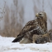 ruigpootbuizerd-rough-legged-buzzard-18