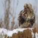 ruigpootbuizerd-rough-legged-buzzard-22