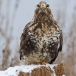 ruigpootbuizerd-rough-legged-buzzard-24