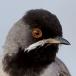 Rüppels grasmus – Rüppels Warbler