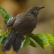 Sahelbabbelaar – Brown Babbler
