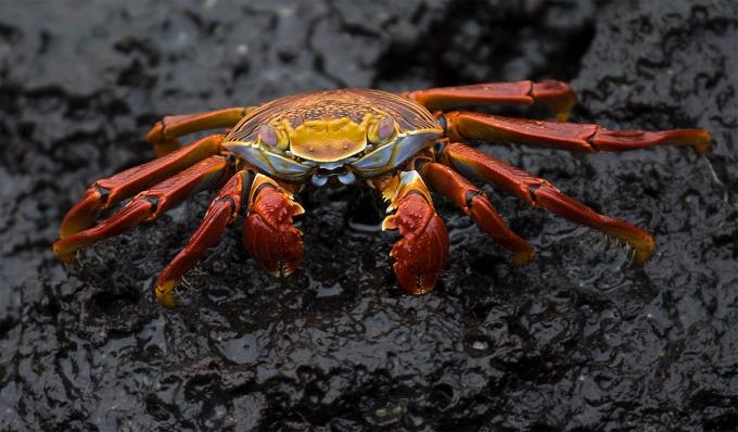 sally-lightfoot-crab-grapsus-grapsus-01