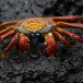 sally-lightfoot-crab-grapsus-grapsus-01