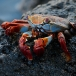 sally-lightfoot-crab-grapsus-grapsus-02