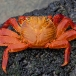 sally-lightfoot-crab-grapsus-grapsus-03