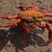 sally-lightfoot-crab-grapsus-grapsus-04