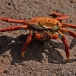 sally-lightfoot-crab-grapsus-grapsus-05