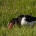 Scholekster - Eurasian Oystercatcher 13