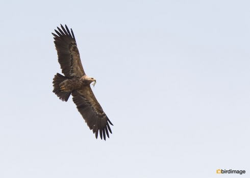 Schreeuwarend - Lesser Spotted Eagle 05