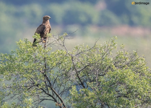 Schreeuwarend - Lesser Spotted Eagle 07