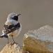 seebohms-tapuit-seebohms-wheatear-02