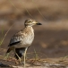 Senegal Griel – Senegal Thick-knee
