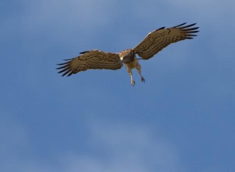 slangenarend-short-toed-eagle-04