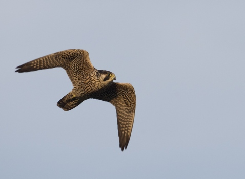slechtvalk-peregrine-falcon-01