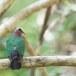 Smaragdduif-Common-emerald-dove-01
