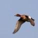 Smient - Eurasian Wigeon 03