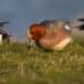Smient - Eurasian Wigeon 04