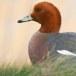 Smient - Eurasian Wigeon 05
