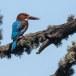 Smyrna-ijsvogel-White-throated-kingfisher-01