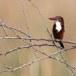 Smyrna-ijsvogel-White-throated-kingfisher-05