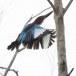Smyrna-ijsvogel-White-throated-kingfisher-07