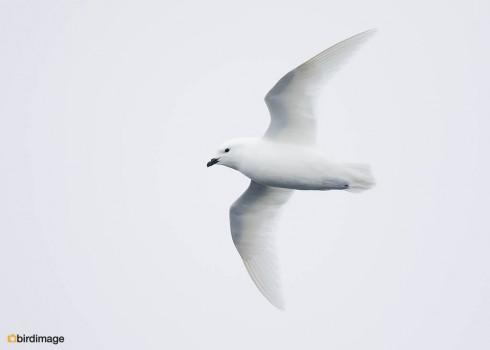 Sneeuwstormvogel_Snow Petrel 07