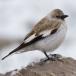 sneeuwvink-snowfinch-02