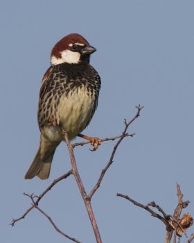 spaanse-mus-spanish-sparrow-03