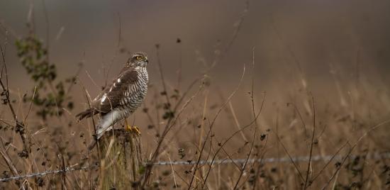 sperwer-sparrowhawk-01