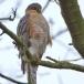 sperwer-sparrowhawk-07