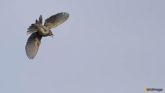 Sperwergrasmus - Barred Warbler 04