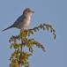 sperwergrasmus-barred-warbler-01