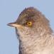 Sperwergrasmus – Barred Warbler