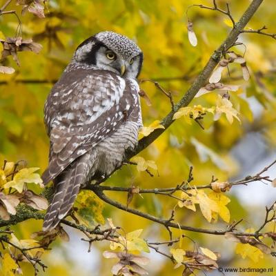 sperweruil-northern-hawk-owl-06