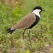 Sporenkievit &#8211; Spur-winged Plover