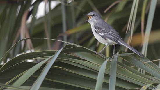 Spotlijster - Northern Mockingbird 001