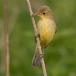 spotvogel-icterine-warbler-02