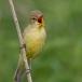 spotvogel-icterine-warbler-03
