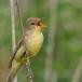 spotvogel-icterine-warbler-04