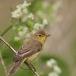 spotvogel-icterine-warbler-07