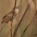 sprinkhaanzanger-grasshopper-warbler-01