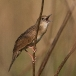 sprinkhaanzanger-grasshopper-warbler-02