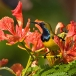 staalborsthoningzuiger-olive-backed-sunbird-02