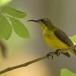 staalborsthoningzuiger-olive-backed-sunbird-05