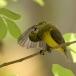staalborsthoningzuiger-olive-backed-sunbird-06