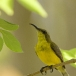 staalborsthoningzuiger-olive-backed-sunbird-07