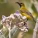 staalborsthoningzuiger-olive-backed-sunbird-10