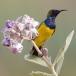 staalborsthoningzuiger-olive-backed-sunbird-12