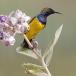 staalborsthoningzuiger-olive-backed-sunbird-13
