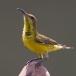 staalborsthoningzuiger-olive-backed-sunbird-15